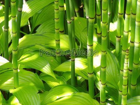 bambus und hosta