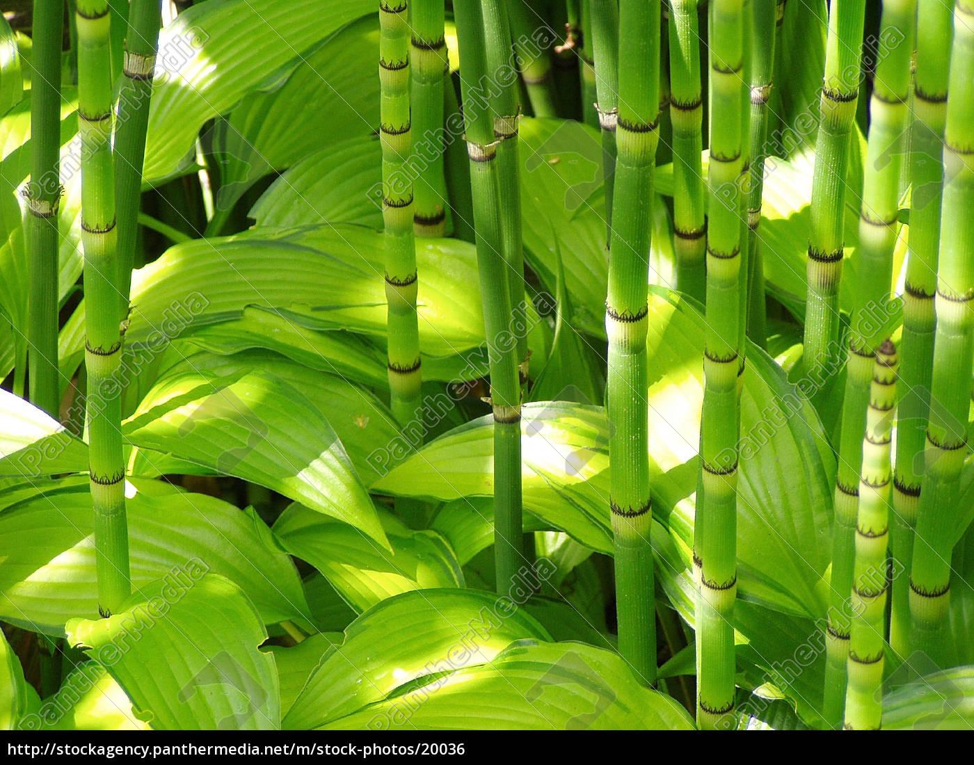 bambus, und, hosta - 20036