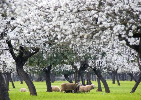 mandelblüte, mit, schafen - 277459