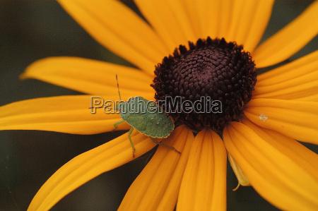 kaefer auf chrysanthemum