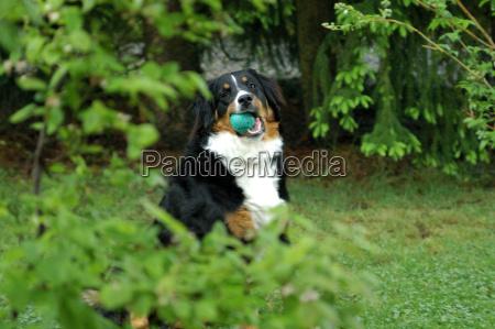 bernersennenhund