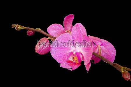 knospen und blueten einer phaleonopsis