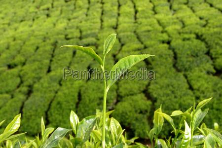 teestraeucher vor teeplantage