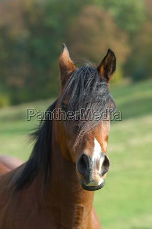 fuchs reitpferd pferde