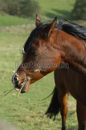 kauendes pferd
