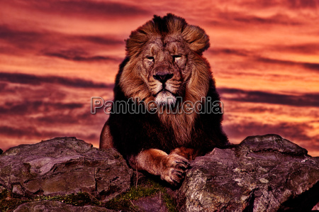 sunset, and, lion - 961407