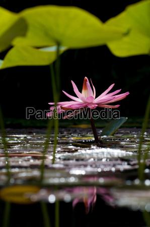 lotus 4