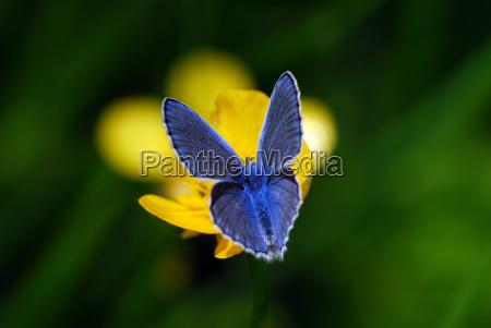 hauhechel auf butterblume