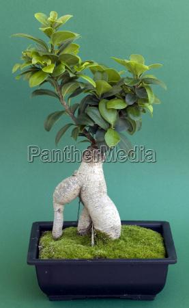 bonsai mit topf und moos