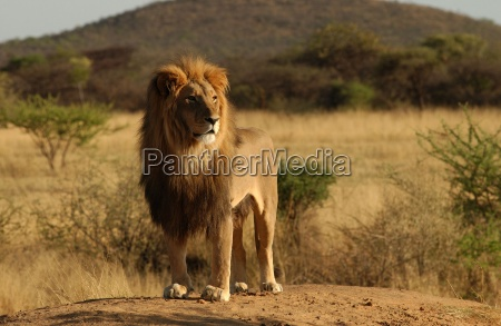lions namibiaafrika