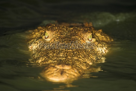 close up of a crocodile in