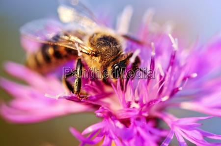 honigbiene auf flockenblume
