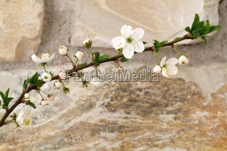bluehende fruehlingskirsche prunus accolade