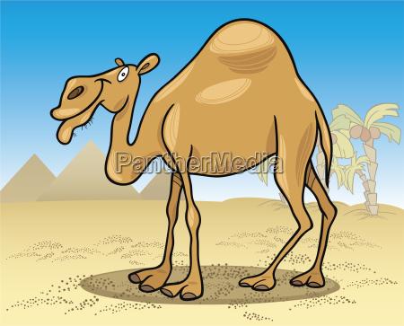 dromedary camel on desert