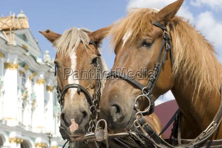 st petersburg horse