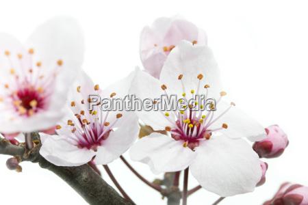 bluete der blutpflaume prunus cerasifera nigra