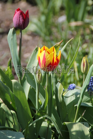 tulpen auf einem beet
