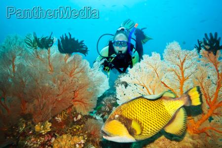 triggerfish und taucher