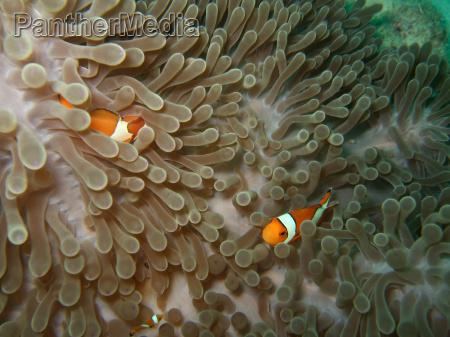 anemone and nemoish