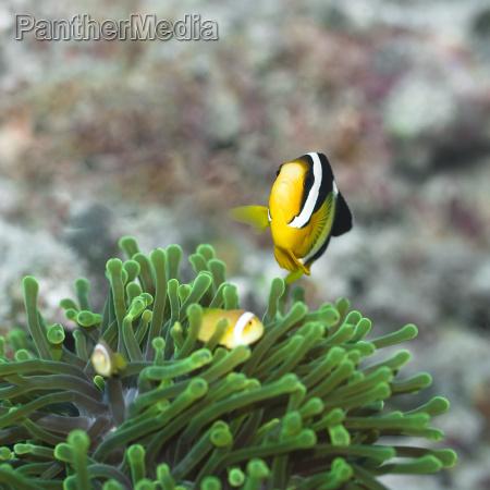 clark039s anemonefish and anemones