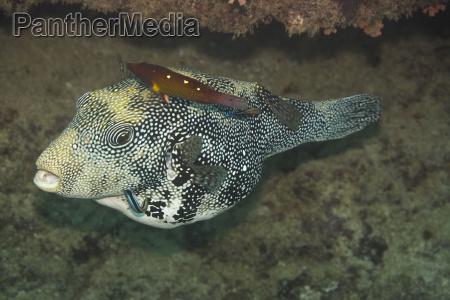 scribbed pufferfish