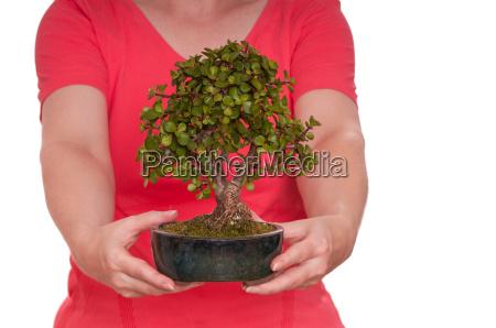 zwei haende halten einen bonsai baum