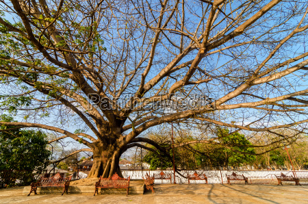 large tree in plaza