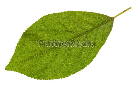 gruene blatt der pflaumenbaum