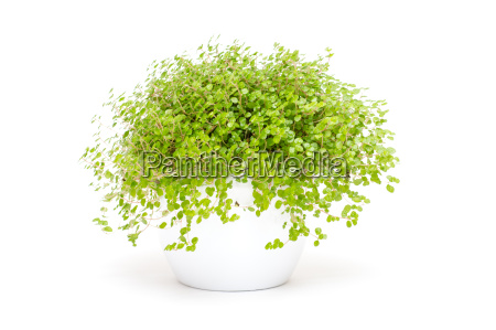 gruene zimmerpflanze bubikopf