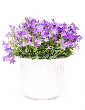 glockenblume mit lila blueten