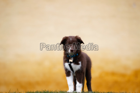 brown border collie welpen