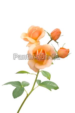 rosenzweig