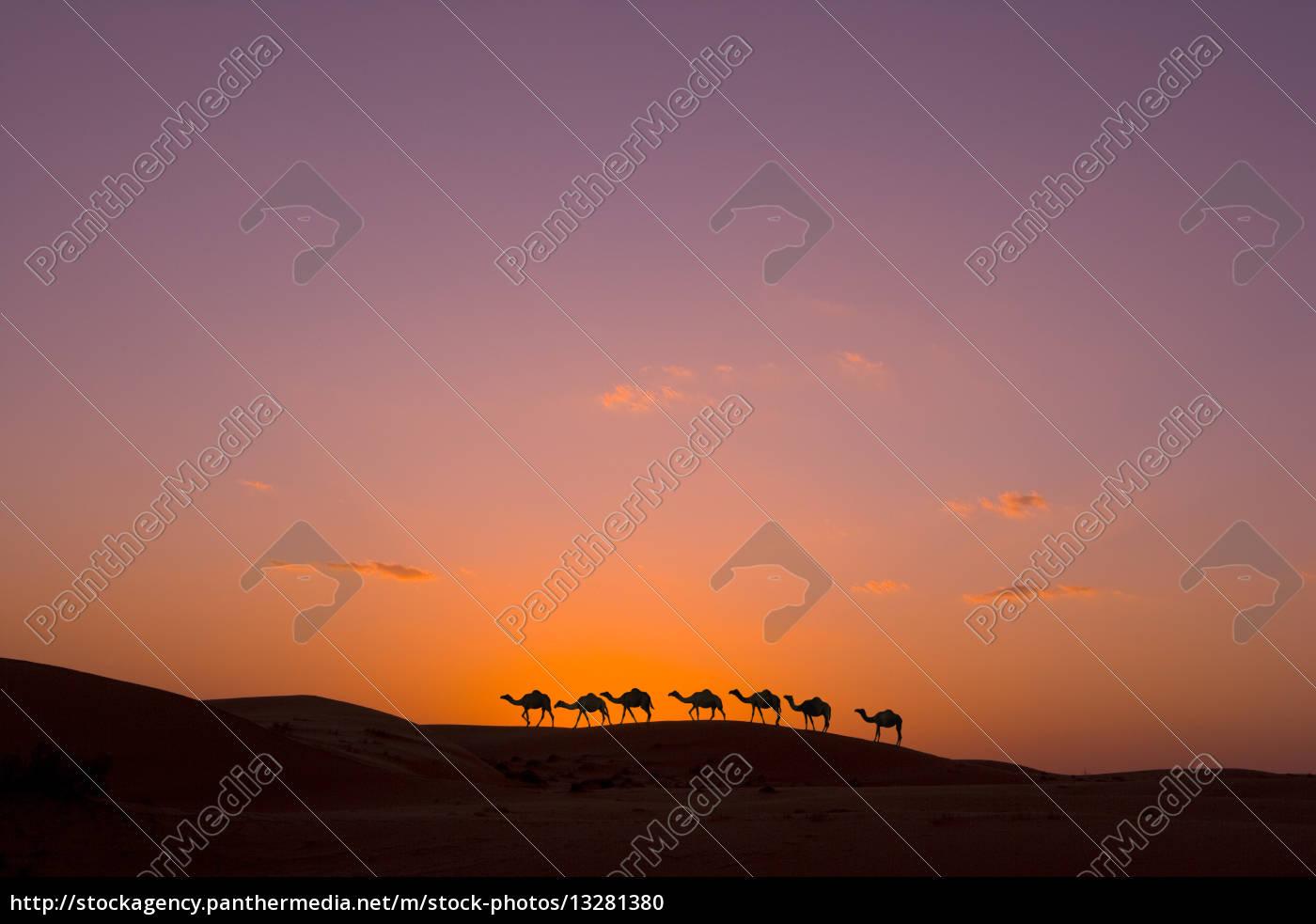 kamelkarawane, bei, sonnenuntergang, in, der, wüste - 13281380