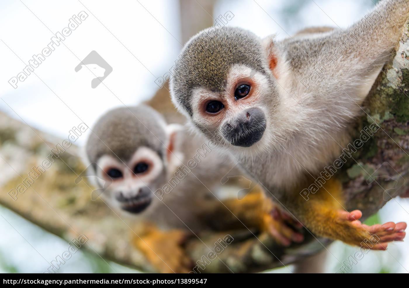 zwei, eichhörnchen-affen - 13899547