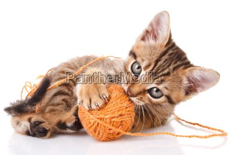 playful tabby kitten
