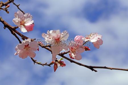 zweig mit rosaroten mandelblueten prunus dulcis