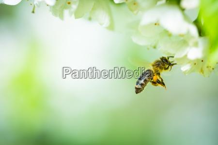 honigbiene im flug naehert bluehenden kirschbaum