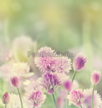 chives blossom