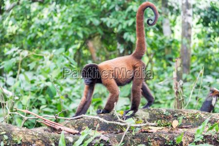 woolly monkey walking