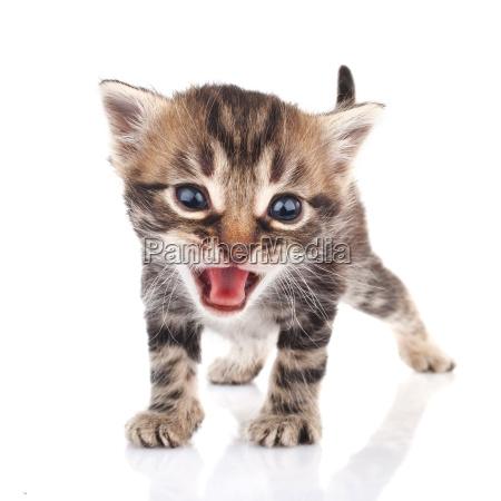 tabby kitten crying