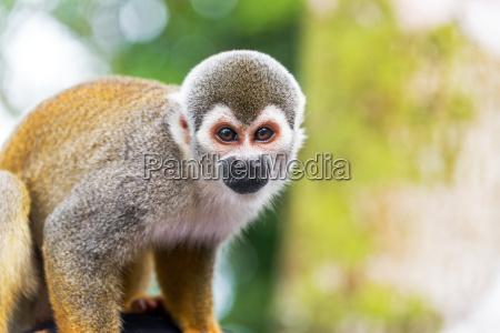 squirrel monkey closeup