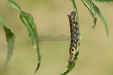 england elephant hawk moth caterpillar deilephila