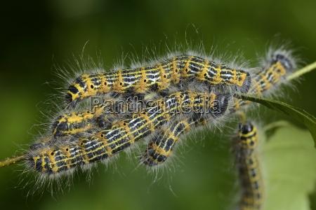 caterpillars of buff tips phalera bucephala