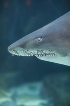 portrait of shark in an aquarium