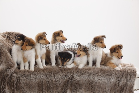 eight rough collie puppies sitting on