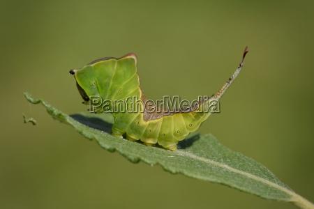 england puss moth cerura vinula caterpillar