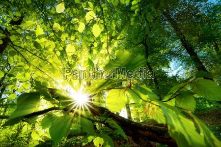 sonnenstrahlen leuchten effektvoll durch blaetter