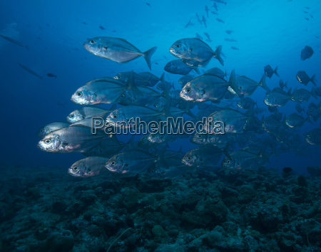 oceania palau school of bigeye trevallies
