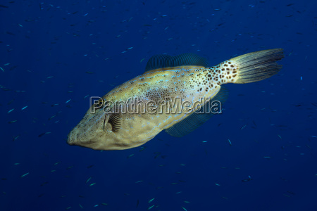 egypt red sea scribbled leatherjacket aluterus