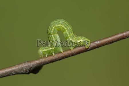 alsophila aescularia on a twig